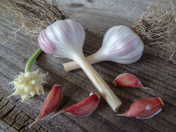Spanish Intenso CREOLE Garlic Bulb SEED