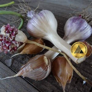 Marbled Blush MARBLED PURPLE STRIPE 180 Garlic Bulb with MEDAL