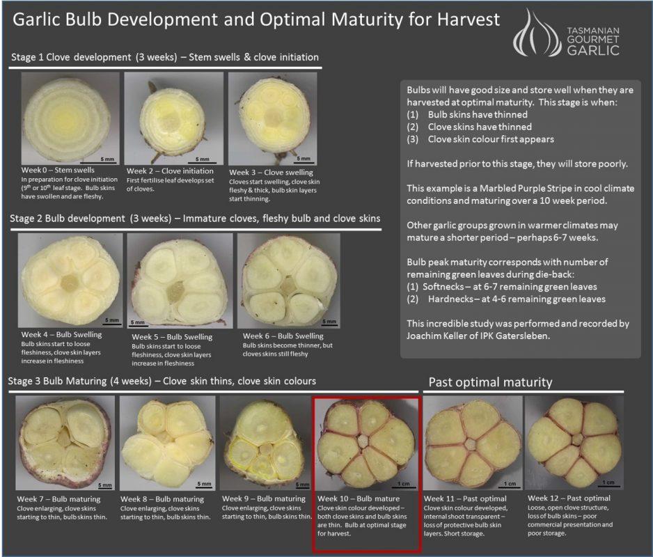 Garlic Bulb Development & Optimal Maturity for Harvest