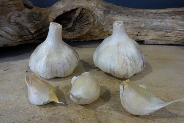 Germidour (Artichoke)