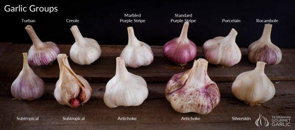Garlic Groups - Bulbs