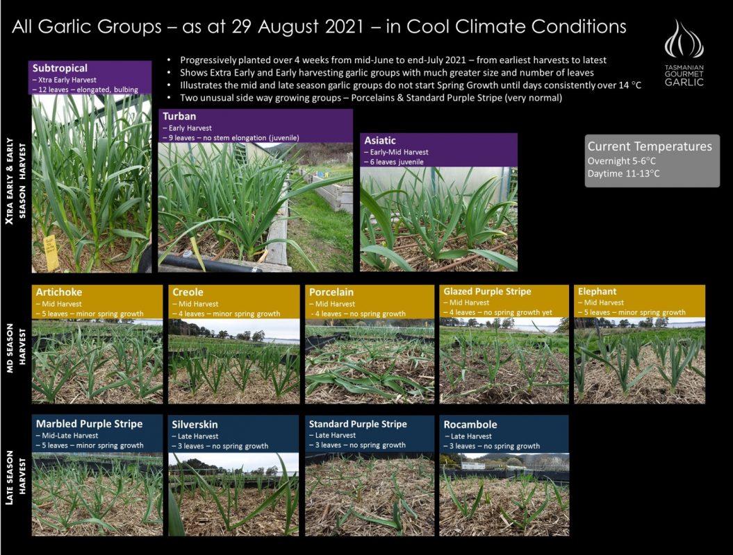 Garlic Group Growth Check - Aug 21