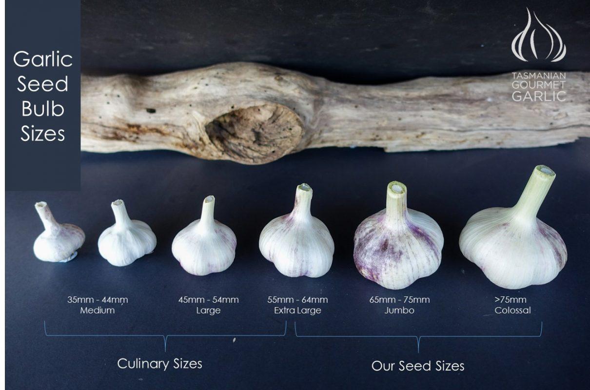 Garlic Seed Bulb Sizes