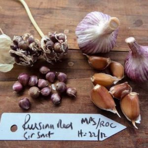 Russian Red Seed Garlic